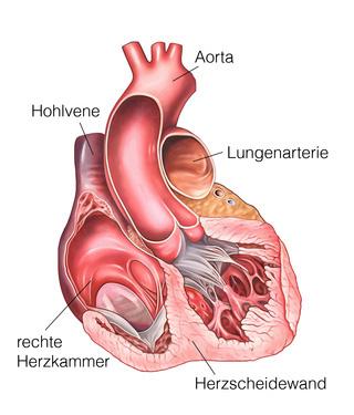 Herzkreislauf_Aufbau